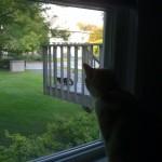 2011-09-12 - 2011 - Milou watching Grouik outside