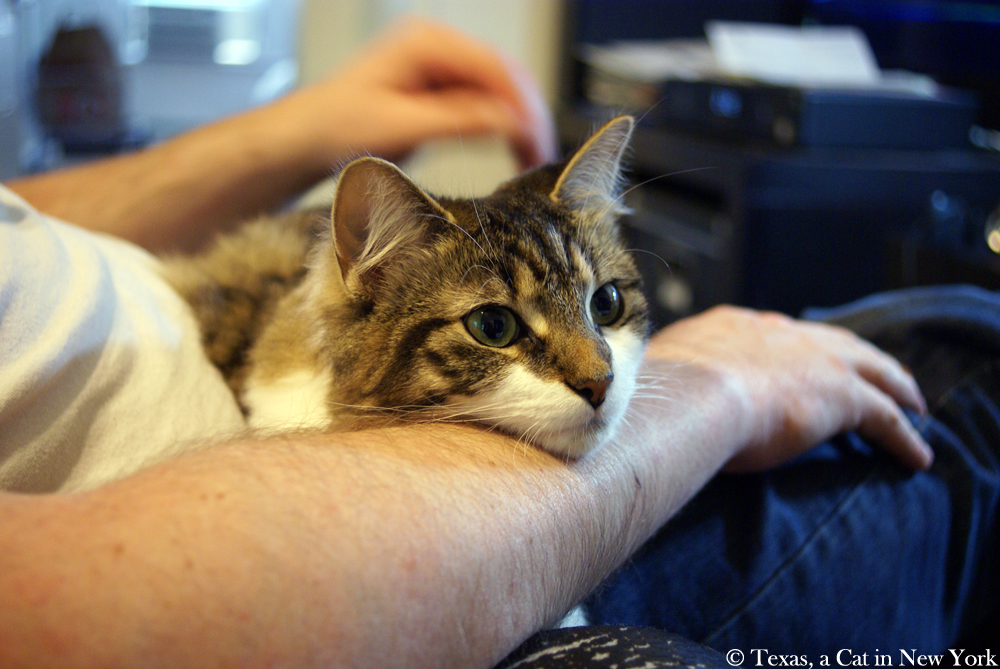 Texas a Cat in New York, Kitshka, nap, human's arm