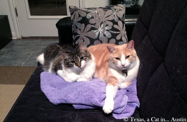 Kitshka & Texas, post Thanksgiving dinner | Texas, a cat in... Austin