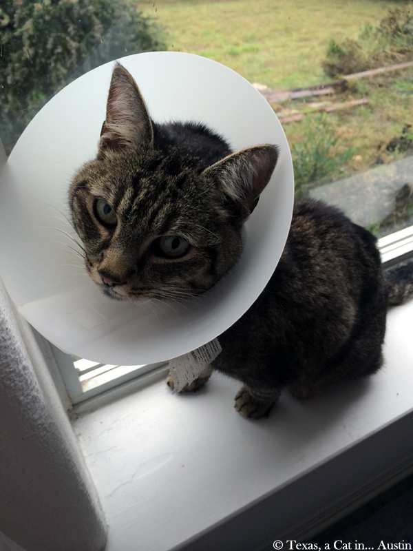 Milou after his surgery | Texas, a cat in... Austin