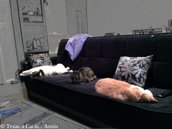 Kitshka, Milou & Texas | Texas, a cat in... Austin