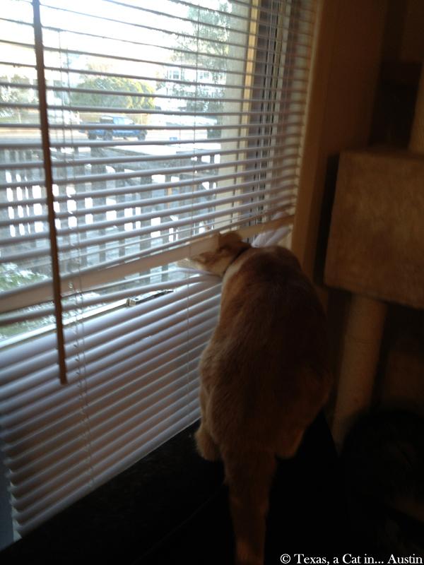 Texas & blinds | Texas, a cat in Austin