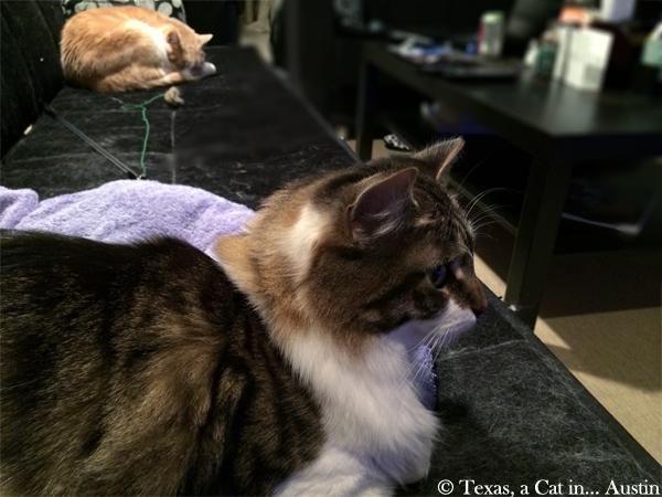 Kitshka | Texas, a cat in... Austin