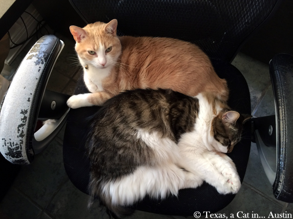 Texas and Kitshka sharing a chair | Texas, a cat in Austin
