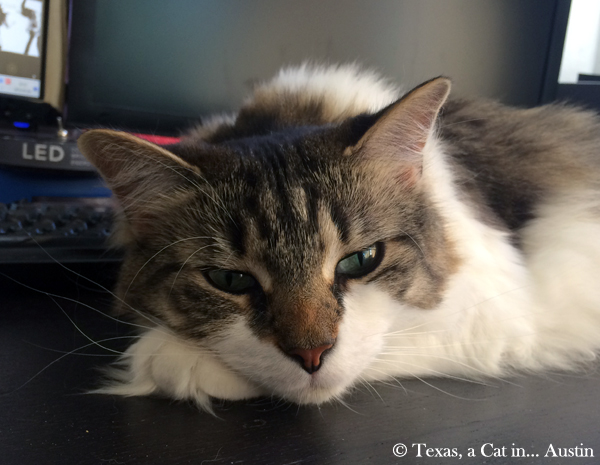 Kitshka is daydreaming | Texas, a Cat in... Austin
