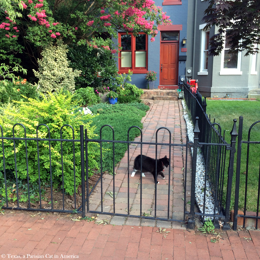 Cat in the streets of Washington, DC | Texas, a Parisian Cat in America