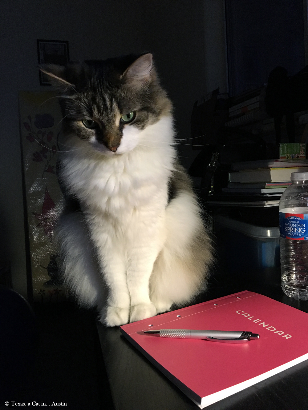 Kitshka | Texas, A Parisian Cat in America